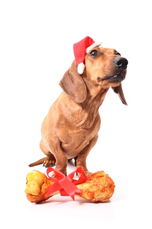 An isolated dachshund dog saying thanks to Santa for getting a bone as a xmas gift. photo