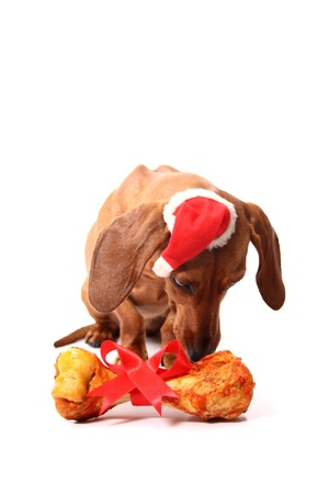 An isolated dachshund dog smelling its xmas gift bone. photo