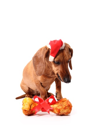 An angry isolated dachshund dog complaining that received a bone again as a xmas gift. photo