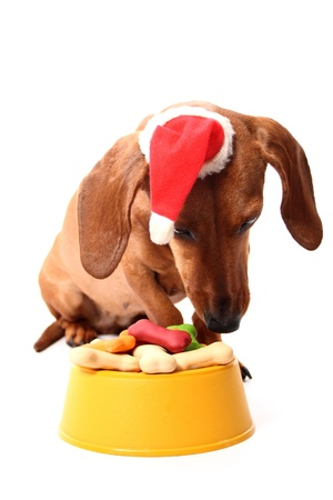 An isolated dachshund dog wearing a santas hat eating a delicious bowl full of dog treats on a white background.