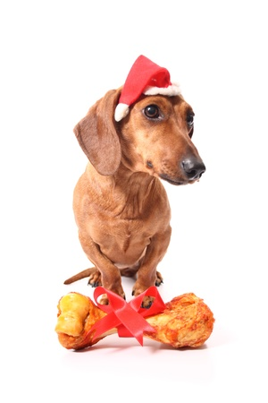 An isolated dachshund dog with a delicious bone received as a xmas gift. photo