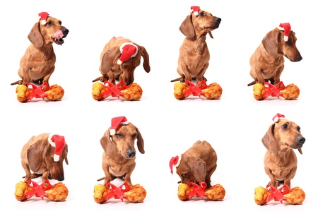 Isolated set of dachshund dogs with a delicious bone. photo