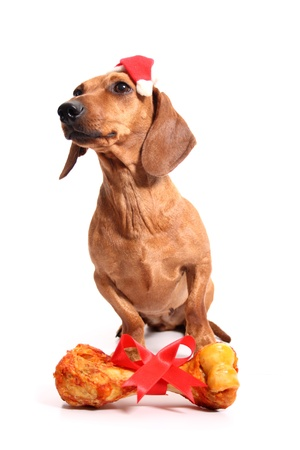 An isolated dachshund dog with a delicious bone received as a gift. photo
