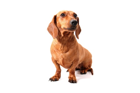 An isolated dachshund sitting on a white background. Stock Photo