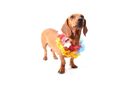 neckless: An isolated dachshund on a white background. Hawaii theme.
