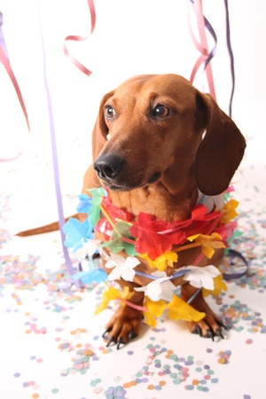An isolated dachshund on a white background enjoying the Carnival party. Stock Photo