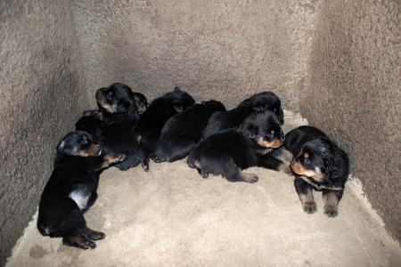 rott: Una manada de Rottweiler