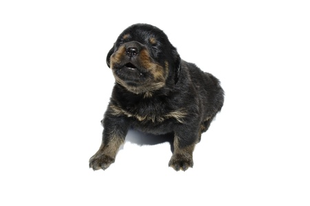 An isolated rottweiler puppy on a white background. photo