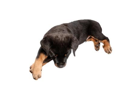 rott: Un hecho aislado cachorro rottweiler en un fondo blanco.