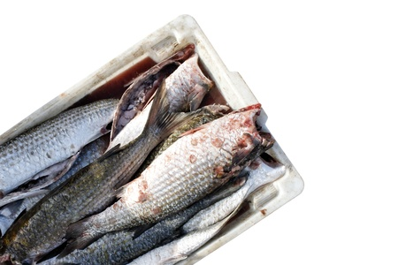 beheading: IContainer with cleaned fishes isolated on white