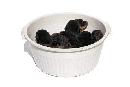 rott: Manojo de cachorros en un washbolw sobre fondo blanco Foto de archivo