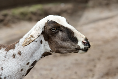 A farm theme: Shorn sheep Stok Fotoğraf