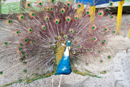 indian peafowl: An animal theme: Indian Peafowl Stock Photo