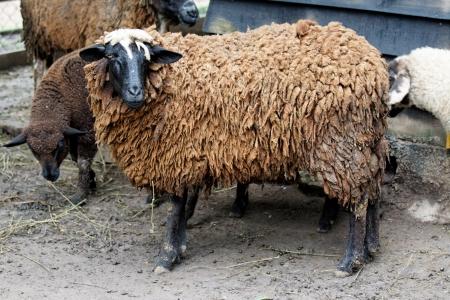 A farm theme: Dark sheep Stok Fotoğraf