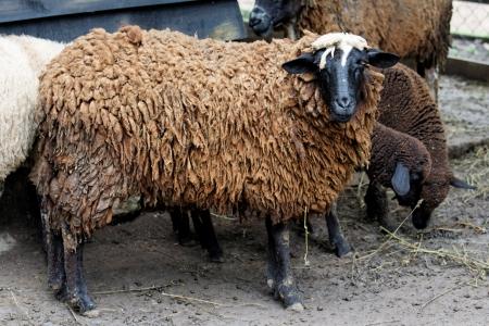 Black sheep in a farm day Stok Fotoğraf