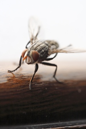 transmissible: Photo of Fly close up