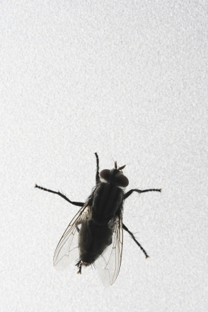 transmissible: Photo of Fly close against bright window Stock Photo
