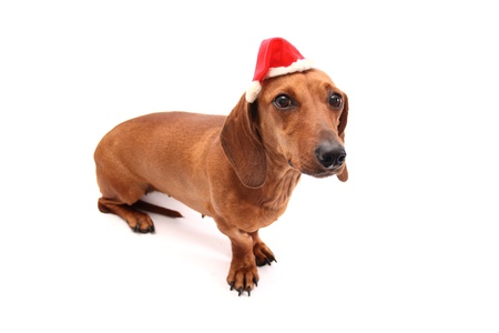 Dachshund Christmas time on white background