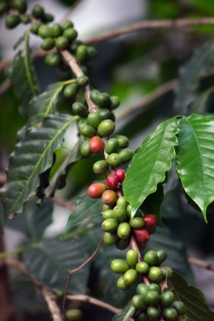 planta de cafe: Foto de la planta de caf�