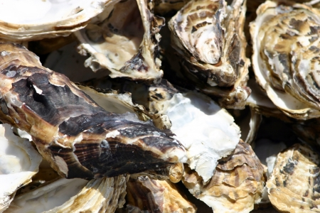 oyster shell: Photo of Oyster shell