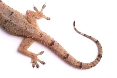 jaszczurka: Zdjęcie Gecko ogona
