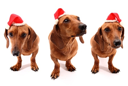 Dachshund set for Christmas time on white background photo