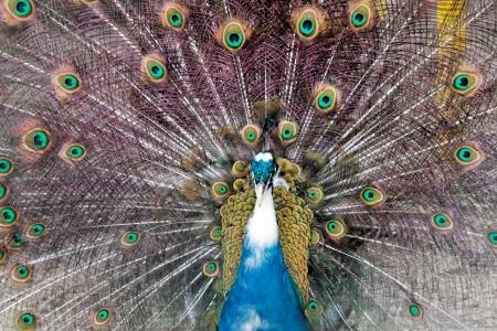 indian peafowl: An animal theme  Indian Peafowl