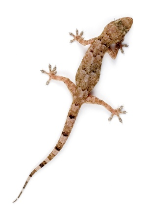 A Gecko climbing the wall.