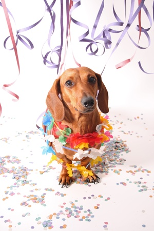 An isolated dachshund on a white background. Carnival theme. photo