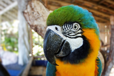 Gold and blue macaw  Blue and yellow macaw  head detail Banco de Imagens