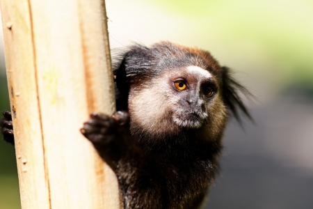 Black Lion Tamarin holding a post with blurred background Banco de Imagens