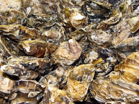 sea food: Oysters background - Raw Sea food Stock Photo