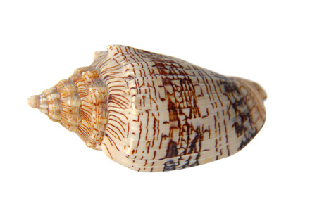 poky: Sea snail shell isolate on white  Stock Photo
