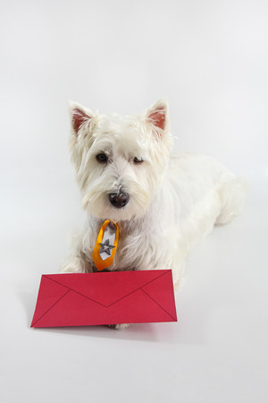 You have dog mail - 'got mail' -  Westie with a red envelope isolated on white photo