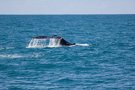 megaptera novaeangliae: Humpback whale diving and showing its tale -  Megaptera novaeangliae  Stock Photo