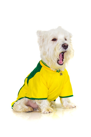 westie dog: Brazilian westie dog yawning