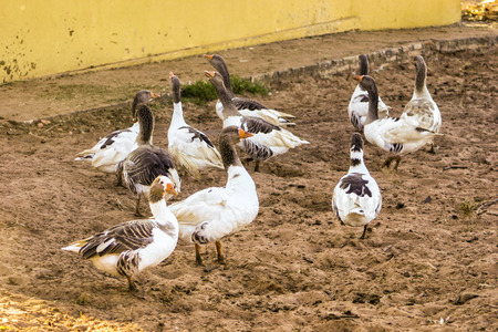 anser: Greylag goose (Anser anser) group
