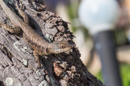 squamata: Detail of a lizard on a Brazilian tree.