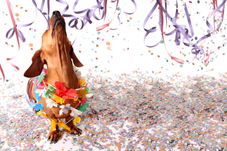 Happy dachshund at Carnival party - head up. Stock Photo