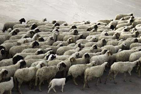 herdsman: Sheep marching in the street
