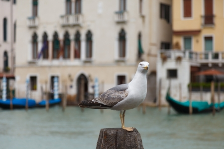 Gull on the Grand Canal in Venice