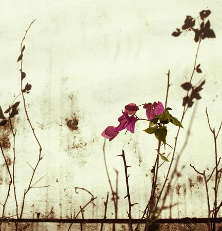bleached: Pink bougainvillea, branches and shadow on bleached wall background