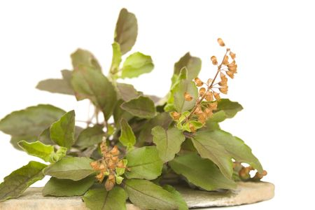 tulasi: Bunch of holy basil thulsi herb with seeds on stone plate isolated