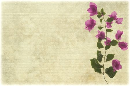 bougainvillea flowers: Pink bougainvillea branch on pale ribbed parchment background Stock Photo