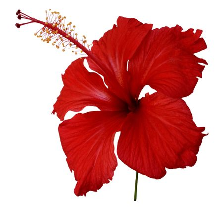 Tropical red hibiscus flower isolated on white