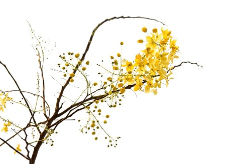 branch of blossom from the golden shower tree Stock Photo