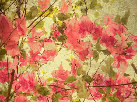 bougainvillea flowers: Pink bougainvillea art background with text space