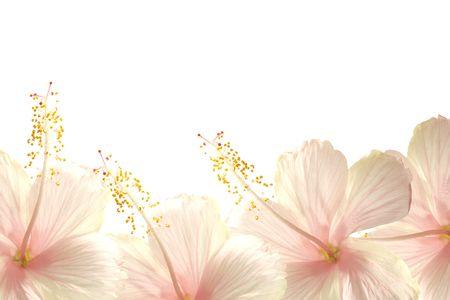Sunlight pink hibiscus flower border textured background Standard-Bild