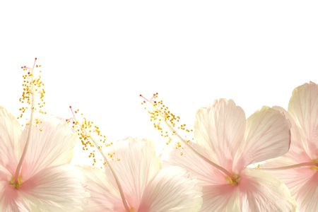 tropical border: Sunlight pink hibiscus flower border textured background