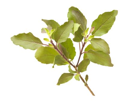 tulasi: Holy Basil  Tulasi sprig   Stock Photo